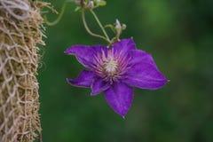 蓝色铁线莲属alpina 库存图片