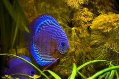 蓝色铁饼鱼绿松石 免版税库存图片