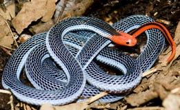 蓝色银环蛇 库存图片