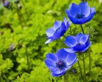 蓝色银莲花属花 库存图片