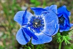 蓝色银莲花属 库存图片