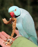 蓝色长尾小鹦鹉 免版税库存照片