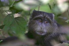 蓝色长尾猴属mitis猴子 库存照片