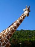 蓝色长颈鹿天空 图库摄影