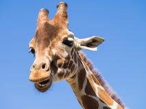 蓝色长颈鹿天空 库存图片