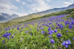 蓝色集水量花 通过卡拉Turek,山阿尔泰 库存照片