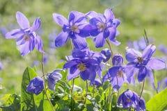 蓝色集水量花 色的现有量例证做本质夏天 库存图片
