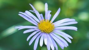 蓝色雏菊在庭院里 股票视频