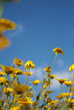 蓝色雏菊天空黄色 免版税库存图片