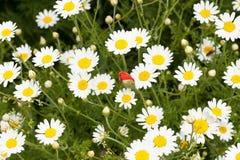 蓝色雏菊开花天空黄色 库存图片