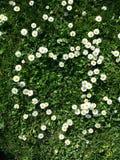 蓝色雏菊开花天空黄色 图库摄影