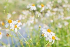 蓝色雏菊开花天空黄色 免版税库存照片