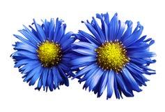 蓝色雏菊花在白色的隔绝了背景 设计的两棵春黄菊 在视图之上 特写镜头 图库摄影