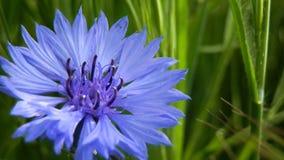 蓝色雏菊细节 免版税图库摄影