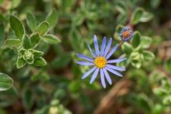蓝色雏菊 免版税库存照片