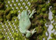 蓝色雨蛙 免版税图库摄影