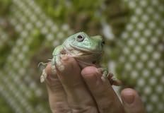 蓝色雨蛙 免版税库存照片