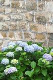 蓝色霍滕西亚花对古老石墙 库存照片