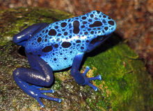 蓝色青蛙 免版税库存照片