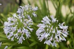 蓝色非洲百合& x28; 爱情花Africanus& x29; 有水下落的绿色植物 免版税库存照片