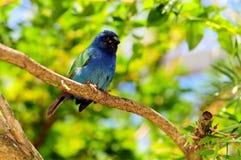 蓝色面对的parrotfinch鸟 免版税库存图片
