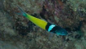 蓝色顶头濑鱼游泳通过水 图库摄影