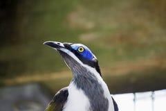 蓝色顶头鸟紧密 免版税库存图片