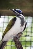 蓝色顶头鸟 库存照片