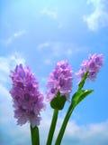 蓝色风信花天空 库存照片