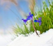 蓝色风信花的第一芽在春天 免版税库存图片