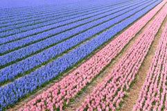 蓝色风信花粉红色 免版税库存图片