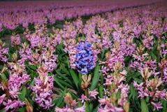 蓝色风信花Hyacinthus成长在桃红色风信花` s的中心 免版税库存图片