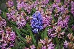 蓝色风信花Hyacinthus成长在桃红色风信花` s的中心 库存图片