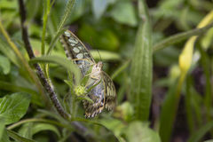 蓝色飞剪机蝴蝶,面孔,和在翼下 免版税库存照片