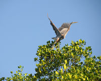 蓝色飞行巨大苍鹭作为 库存图片