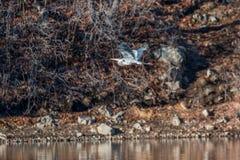蓝色飞行极大的苍鹭 免版税图库摄影