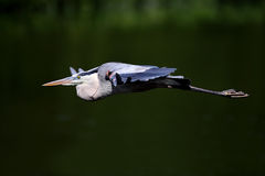 蓝色飞行极大的苍鹭 库存图片
