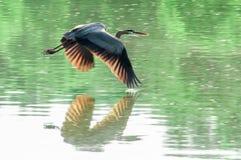 蓝色飞行极大的苍鹭 免版税库存图片