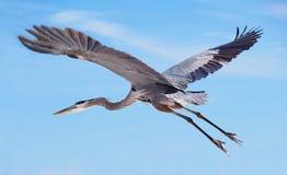 蓝色飞行极大的苍鹭 免版税库存照片
