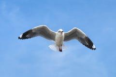 蓝色飞行海鸥天空 库存照片