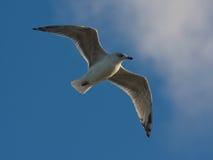 蓝色飞行鸥鲱鱼天空年轻人 图库摄影