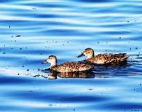 蓝色飞过的小野鸭女性 免版税图库摄影