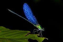 蓝色飞过的蜻蜓 图库摄影