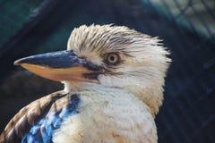 蓝色飞过的Kookaburra接近  免版税库存照片
