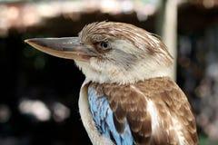 蓝色飞过的Kookaburra 库存图片