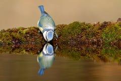 蓝色饮用的山雀 库存照片