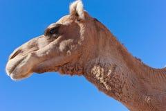 蓝色骆驼孤立天空 库存图片