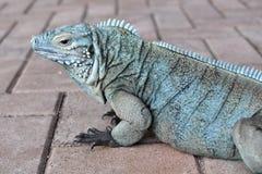 蓝色鬣鳞蜥配置文件 库存照片
