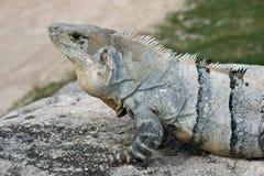 蓝色鬣鳞蜥 免版税图库摄影