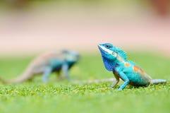 蓝色鬣鳞蜥 免版税库存照片